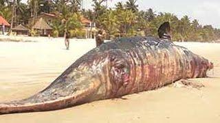 Côte d'Ivoire: Un cachalot s'échoue sur la plage d'Assouindé