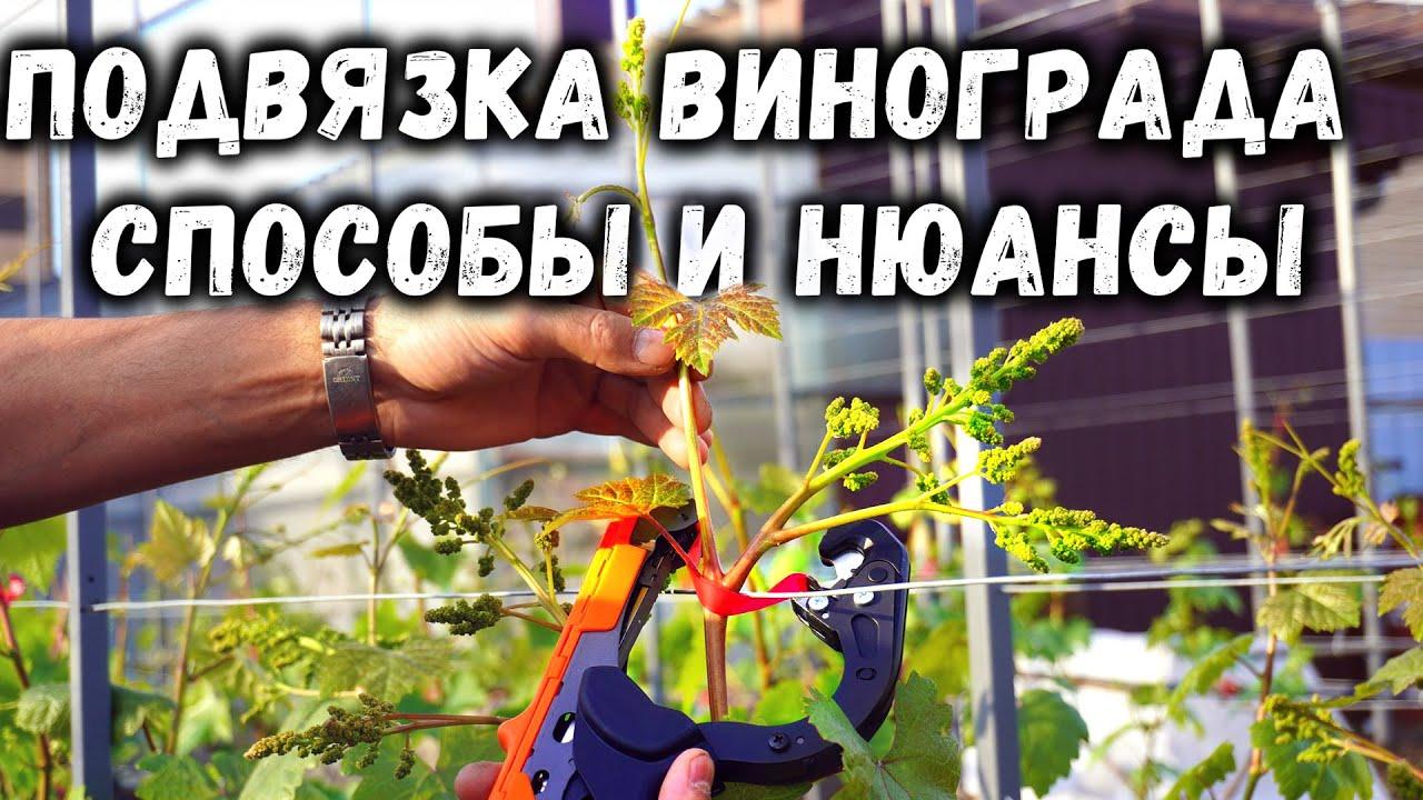 Подвязка винограда - способы и нюансы!