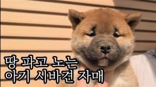 땅 파고 노는 아기 시바견 자매 【20200525 시바…
