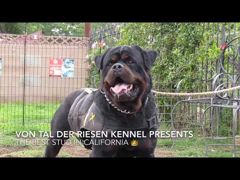 Best Rottweiler In The USA