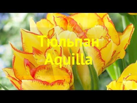Тюльпан фостера Акуилла. Краткий обзор, описание характеристик, где купить луковицы tulipa Aquilla