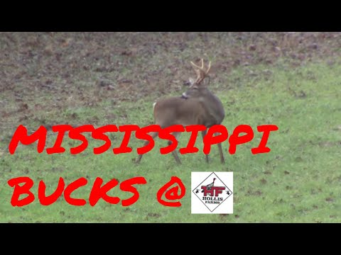 Mississippi Bucks at Hollis Farms