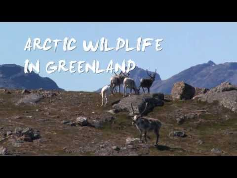 Arctic Wildlife in Greenland