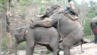 Fucking elephant / ебля слонов
