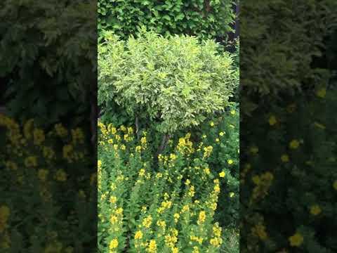 Желтая клумба в саду, сделай такую же из простых растений