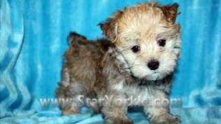 Teacup Morkies,maltipoos,yorkipoos,pomteses And Designer Breeds Puppies For Sale Las Vegas Nv