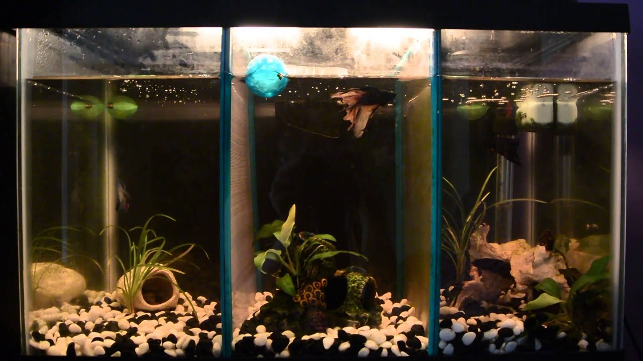 Ten gallon split betta tank youtube for Split fish tank
