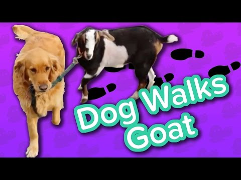 Goat Walking & Pumpkin Pie Pigs!! // Funny Animal Compilation