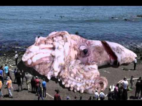Calamar gigante en california de 48 metros noticia de Noticias de ultimo momento espectaculos
