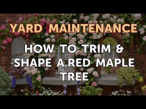 How To Trim Shape A Red Maple Tree Youtube