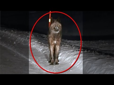 Massive Wolf Captured on Dash-Cam - Must Watch!!!