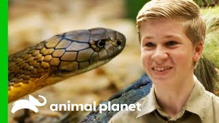 Robert Irwin Helps Wes Wrangle A Deadly King Cobra | Crikey! It's The Irwins
