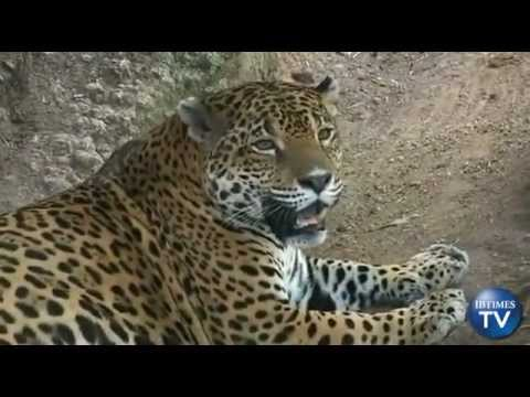 Caught On Tape: Rare Jaguar Sighting In Oaxaca, Mexico