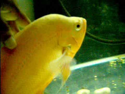 how to train oscar fish