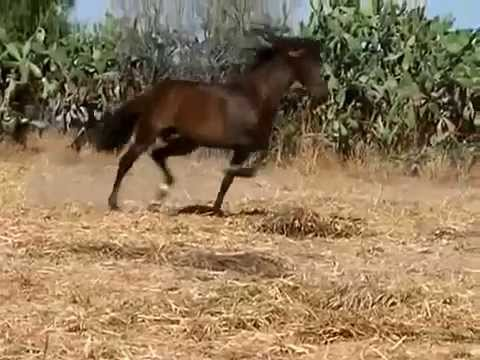 HORSES IN SPAIN - PURE SPANISH BRED HORSES