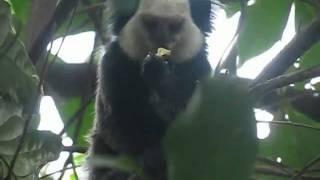 Macacos petits singes