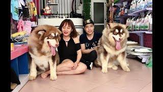 NTN Vlog tố Mật Pet lừa bán Alaska Giant - đến tận shop bắt đền ==)))