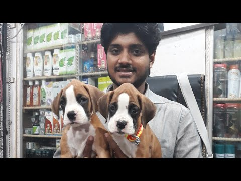 Boxer puppies on sale  at 22000/- Rs.cl 9140752208