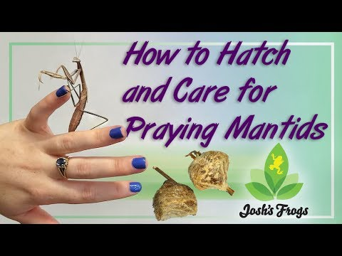 How To Hatch And Care For Praying Mantids
