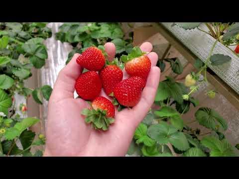 Земляника садовая FD1604 Soprano. Первый сбор ягоды, клубника 39й день !!