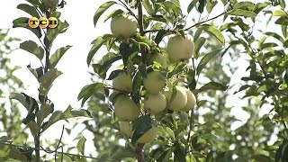 Колоновидная яблоня - 6 соток(Оказывается, колоновидные яблони были выведены почти 60 лет назад. Однако у нас в промышленных масштабах..., 2016-04-08T10:54:24.000Z)