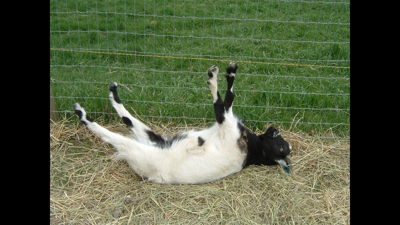 Best Of Fainting Goats Epicvirals Hd Youtube