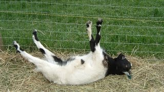 Best of Fainting Goats | EpicVirals | [HD]