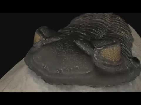 Trilobit Fosili