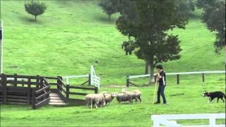 20110827 牧羊犬の仕事.