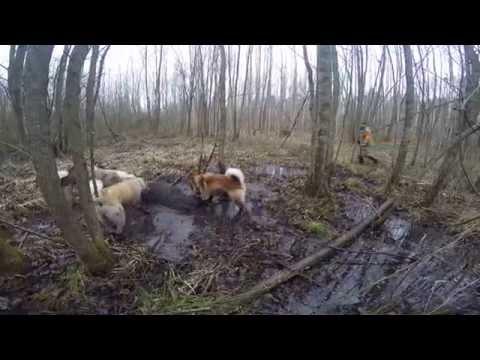 Охота на кабана видео онлайн
