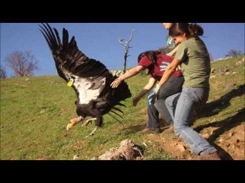 California Condors Big Sur Intreview