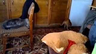 Мой кот иногда думает, что он собака...