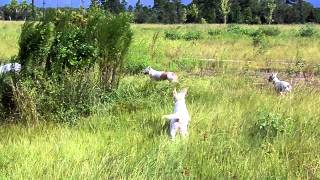 Off Lead Recall The White Dog Pack And Deaf Dogs  Dogtra Remote E Collar Pager