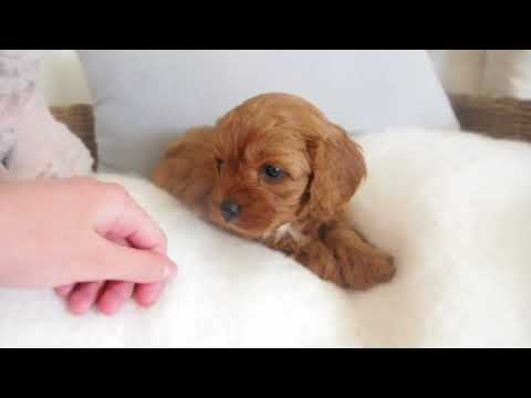 Lola's Toy Cavoodle Girl E - Pocket Puppies