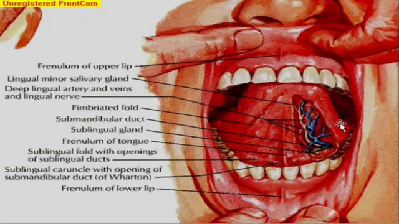 Git anatomy mouth salivary glands and muscles of the for Floor of mouth anatomy