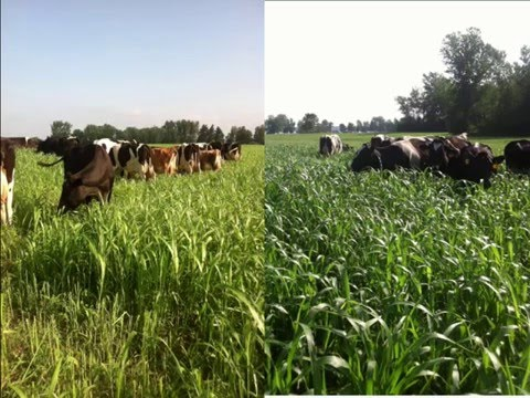 Improving Forage Quality to Maximize Organic Dairy Systems