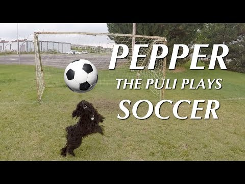 Puli Puppy Plays Soccer