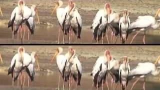 South Luangwa NP, Zambia: Yellow Billed Storks