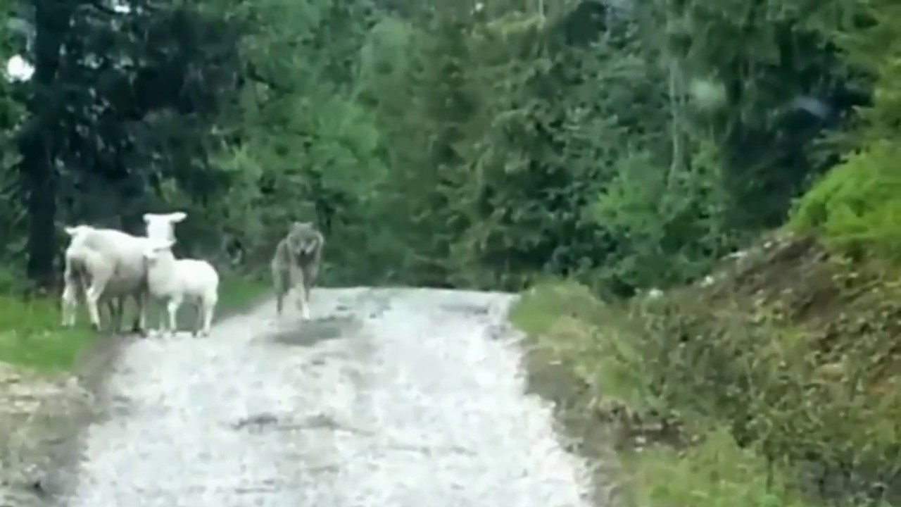 Sheep Vs Wolf in Norway (Official Clip)