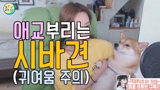 시바견은 애교쟁이 귀여운 리액션!!