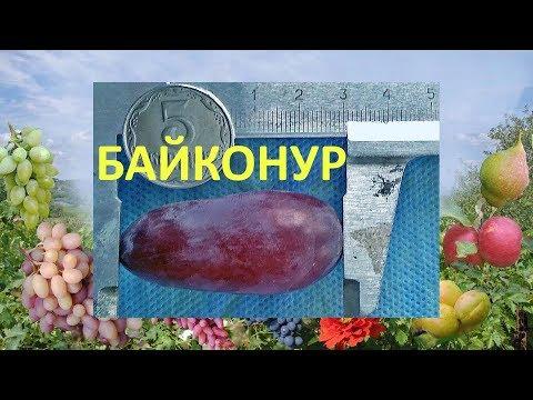 Виноград 2018. Виноград Байконур. Отзыв о винограде