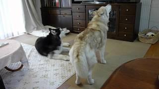 1日3回、チャイムが鳴ると遠吠えします。 近所のどこの犬よりも、デカ...