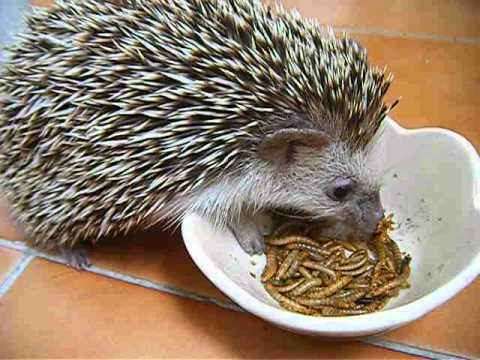 how to make hedgehog food
