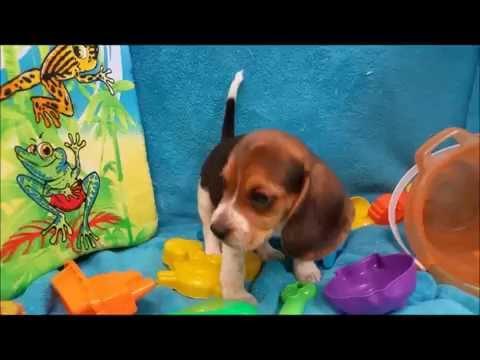 Male Beagle Puppy