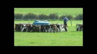 Feeding calves in paddock - New Zealand Dairy Farm