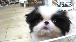 子犬のブリーダー直販支援サイト「子犬の窓口」 矢次ブリーダーの狆(チ...