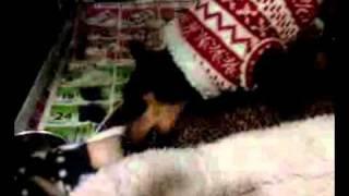 Ziva 4 Month Old Miniature Pinscher Eats Raw
