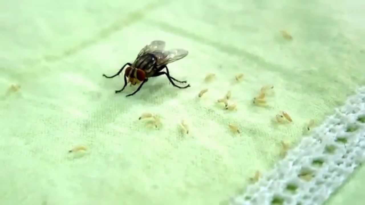 Housefly giving birth to maggots - YouTube