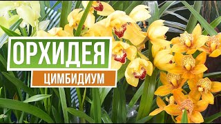Орхидея цимбидиум 🌱 Garden Zoo