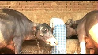 Forcing a baby calf away for milking the mother buffalo
